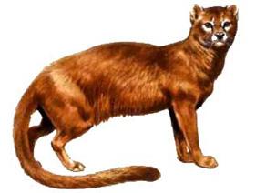 Pseudoailurus, chat